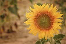Free Flower, Sunflower, Yellow, Sunflower Seed Stock Images - 109022864