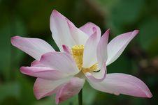 Free Flower, Plant, Lotus, Sacred Lotus Royalty Free Stock Photo - 109022935