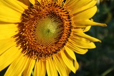 Free Flower, Sunflower, Yellow, Sunflower Seed Royalty Free Stock Photography - 109022977