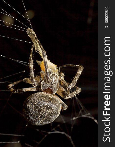Arachnid, Spider, Spider Web, Invertebrate
