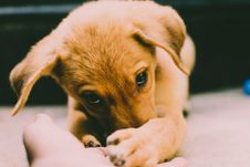 Free Golden Retriever Puppy Stock Photos - 109053433