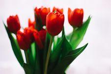Free Photo Of Orange Tulips Stock Image - 109103251
