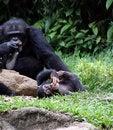 Free Chimpanzee Stock Photography - 10922962