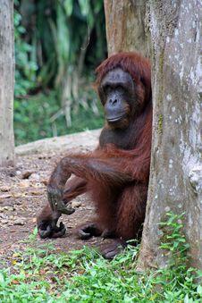 Free Orangutan Stock Photography - 10922872