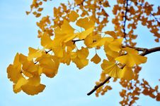 Free Yellow, Maidenhair Tree, Flora, Tree Royalty Free Stock Photo - 109303235