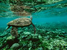 Free Photo Of A Turtle Underwater Stock Image - 109360801