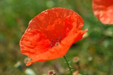 Free Red Poppy Royalty Free Stock Photography - 10944277
