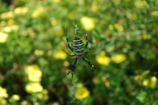 Free Wasp Spider Royalty Free Stock Images - 10944299