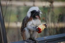 Free Cotton-top Tamarin Royalty Free Stock Images - 10944309