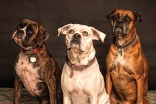 Free Photography Of Three Dogs Looking Up Royalty Free Stock Photos - 109516338