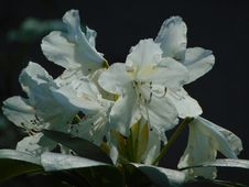 Macro Photo With Decorative Background Texture Of Beautiful Delicate Flowers On A Branch Of A Shrub Of A Rhododendron
