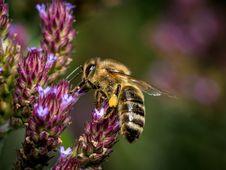 Free Honey Bee, Bee, Insect, Nectar Stock Photos - 109829933