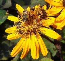 Free Flower, Honey Bee, Bee, Yellow Royalty Free Stock Photography - 109829937