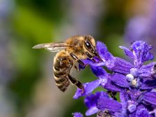 Free Honey Bee, Bee, Insect, Nectar Royalty Free Stock Photography - 109829947