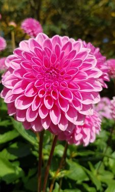 Free Flower, Plant, Pink, Flowering Plant Stock Photo - 109830110