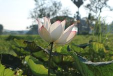 Free Flower, Lotus, Plant, Sacred Lotus Stock Image - 109830141