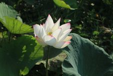 Free Flower, Plant, Lotus, Sacred Lotus Stock Photo - 109830150