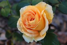 Free Rose, Flower, Rose Family, Floribunda Stock Photo - 109830270