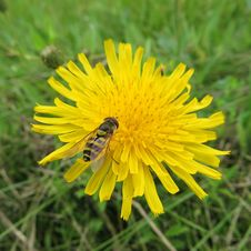 Free Flower, Yellow, Sow Thistles, Flatweed Stock Photo - 109830330