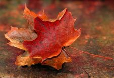 Free Leaf, Maple Leaf, Autumn, Close Up Royalty Free Stock Images - 109830369