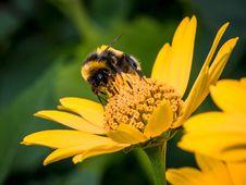 Free Bee, Honey Bee, Flower, Yellow Royalty Free Stock Photo - 109830405