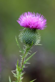 Free Silybum, Thistle, Plant, Noxious Weed Stock Image - 109834061