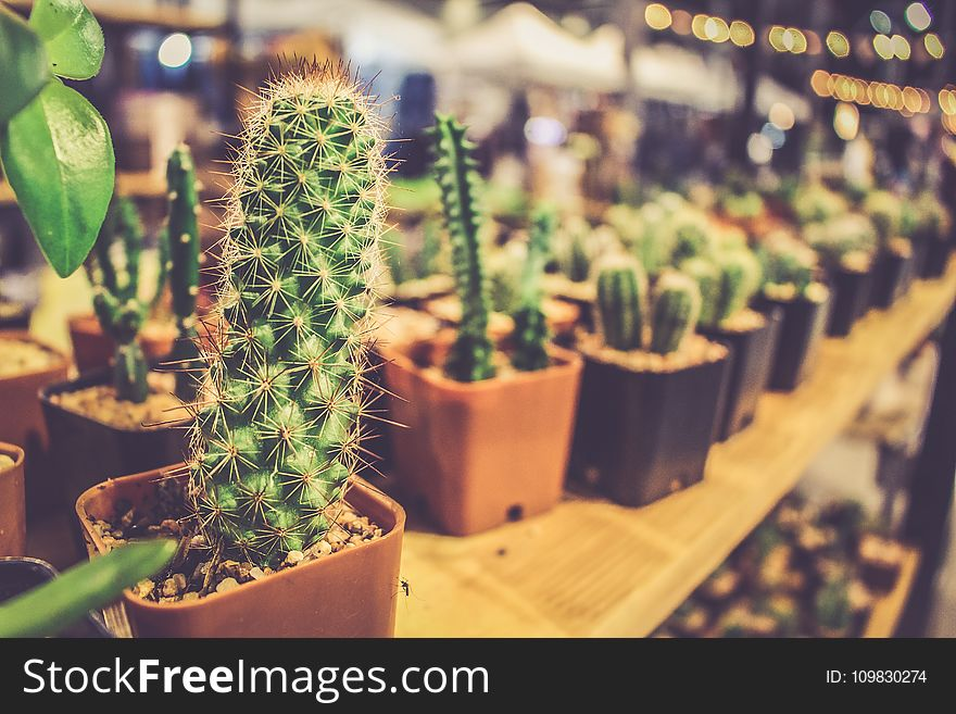 Plant, Cactus, Hedgehog Cactus, Flowerpot