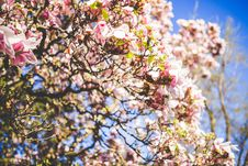 Free Tree With Pink Flowers And Green Leaves Royalty Free Stock Images - 109883749