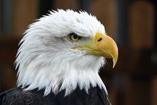 Free Animal, Avian, Bald Stock Images - 109884604