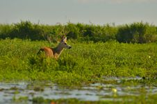 Free Brown Moose On Green Leafed Grass Royalty Free Stock Image - 109885276