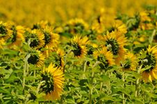Free Sunflower On Green Stem During Daytime Royalty Free Stock Photo - 109885355