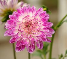Free Selective Focus Photography Of Pink And White Petal Flower Stock Photography - 109885362