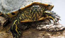 Free Yellow And Black Turtle Royalty Free Stock Images - 109885419
