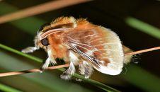 Free Brown Tussock Moth In Tilt Shift Lens Stock Photography - 109885462