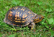 Free Brown Yellow Tortoise Stock Image - 109885691