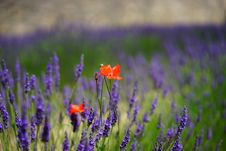 Free Orange Petal Flowers With Purple Grass During Daytime Royalty Free Stock Photo - 109885695