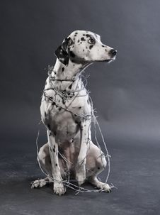 Free Dalmatian With Barbwire Stock Image - 109885721
