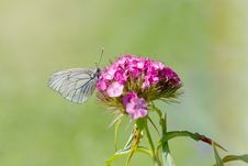 Free Grey Butterfly Perching On Purple Petal Flower Stock Photography - 109885832