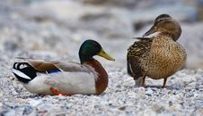 Free Mallard Duck And Brown Duck Standing On The Stone During Daytime Royalty Free Stock Image - 109885856
