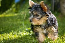 Free Black Tan Yorkshire Terrier Royalty Free Stock Photography - 109885947