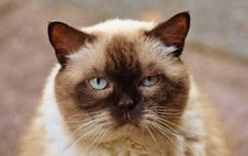 Free Close-up Photography Of Himalayan Cat Royalty Free Stock Photography - 109885977