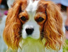 Free Tan And White Cavalier King Charles Spaniel Stock Image - 109885981