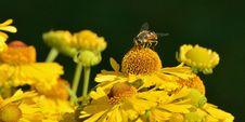 Free Yellow Honeybee On Yellow Petal Flower Royalty Free Stock Image - 109885986