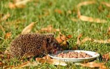 Free Brown Hedgehod About To Eat On White Ceramic Plate With Brown Dish On Green Grass Field Stock Photo - 109886030