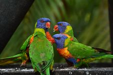 Free 4 Lorikeet On Gray Cement Royalty Free Stock Image - 109886066