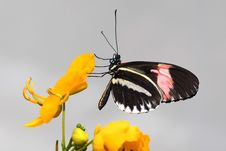 Free Black Pink And White Butterfly Perched On Yellow Flower Petal Stock Photo - 109886200