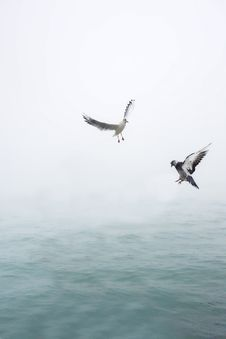 Free Pigeon And Seagull Flying Above Body Of Water Royalty Free Stock Photo - 109887535