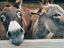 Free 2 Brown And Grey Donkey Closeup Photography Royalty Free Stock Photography - 109887757