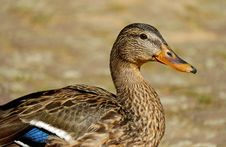 Free Brown White And Blue Duck Royalty Free Stock Photo - 109887785