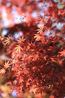 Free Red Leaved Tree Royalty Free Stock Images - 109888879